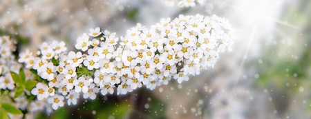Blossoming of the spirea bush in spring time with white beautiful flowers. Macro image with copy space. Natural seasonal background. Banner.
