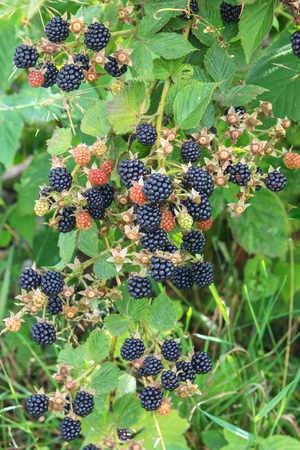 Bramble berry bush with black ripe berries closeup. The concept of harvesting berries in the countryside. 版權商用圖片