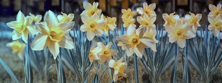 Yellow daffodil flowers blooming in the spring, narcissus 版權商用圖片