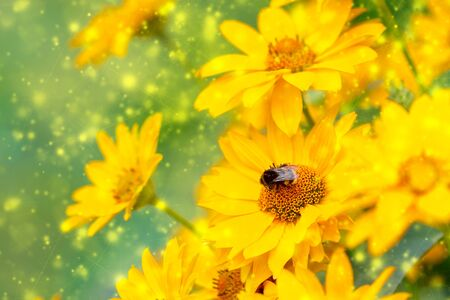 Blurred summer background with yellow flowers field and european bee in sunlight. Beautiful nature scene with blooming flowers and bokeh in Summertime.  版權商用圖片