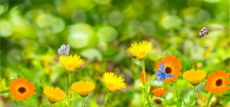 Blurred summer background with Marigold flowers field and butterflies in sunlight. Beautiful nature scene with blooming calendula in Summertime. Colorful Wide Horizontal floral Wallpaper. Banner. 版權商用圖片