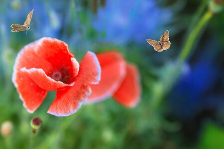 Butterflies fly to enjoy the bright red poppy of a meadow lonely flower 版權商用圖片