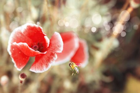 A bee flying towards a poppy seed flower. Papaver somniferum, commonly known as the opium poppy or breadseed poppy. Red flower with honey bee in the field in the spring. Landscape of red poppy.