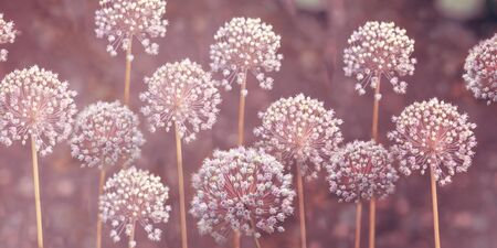 Close-up image of the summer flowering white bulbs of Allium stipitatum. An ornamental bulbous perennial plant - stock photo. Banner. Long format. 版權商用圖片