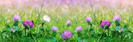 Field of flowering crimson clovers Trifolium incarnatum in spring rural landscape.Long format