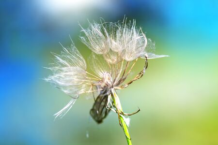 white dandelions with snail on blue-green background, wide view
