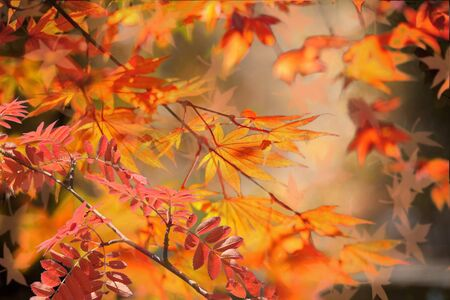 Autumn background. Colorful red fall maple leaves and abstract sun light 版權商用圖片
