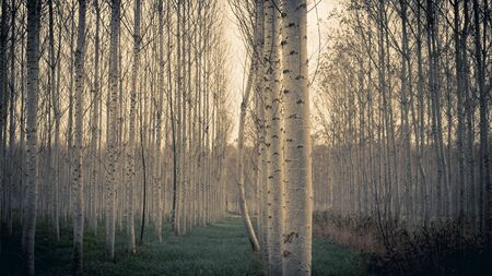 Uneven tree in Poplar plantation in Sils wetland in Girona
