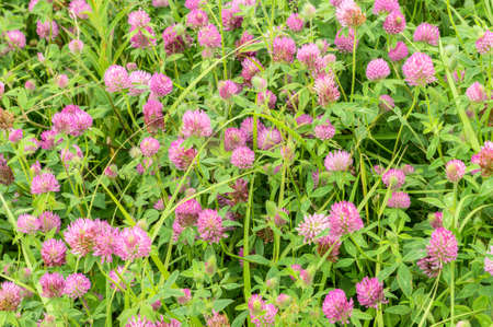 red clover: a fragment of a blossoming glade Red clover (Trifolium pratense) Stock Photo