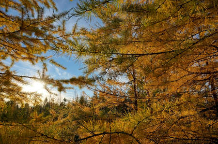 sky brunch: larch branches on a sunny autumn day Stock Photo
