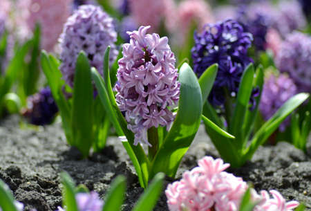 Beautiful spring flowers hyacinths on a sunny warm day blooming on a city flower bed, primroses, spring concept