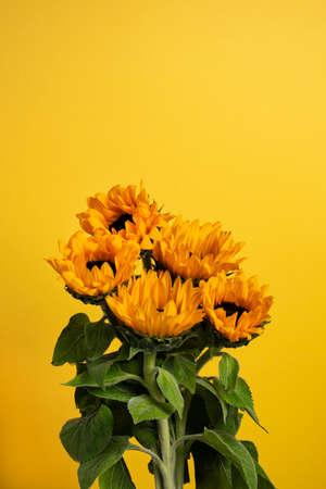 Sunflowers on a yellow background. Copy space 版權商用圖片