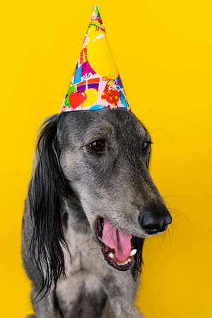 cute greyhound with a birthday party hat on isolated on a yellow background Stock Photo