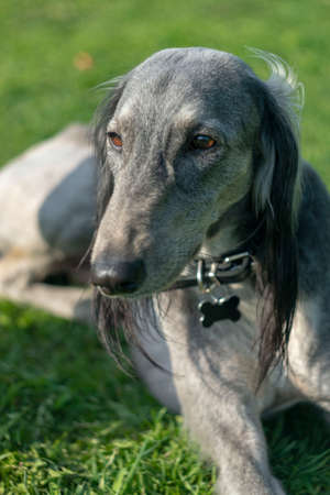 Turkmen hound lying on the green grass close-up. Walk in the warm summer weather. Stock Photo
