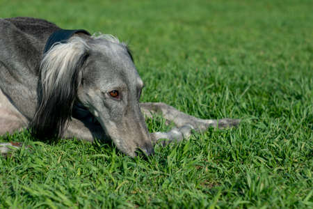 Turkmen hound lying on the green grass close-up. Walk in the warm summer weather. Place for text.