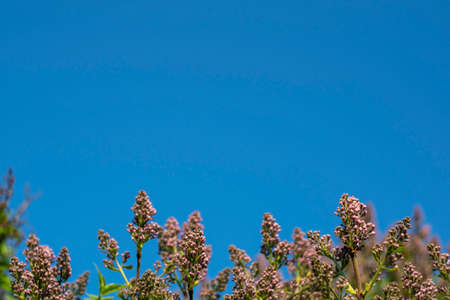 Lilac bush at the bottom of the frame against the blue sky. Place for text