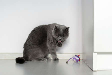 Scottish fold cat is washing herself. Nearby lies a toy mouse lonely. Beautiful gray cat with bright orange eyes and a serious face on a white background. Copy space. Archivio Fotografico