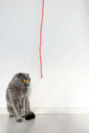 A Scottish fold cat stares stupidly at her beloved red rope. Beautiful gray cat with bright orange eyes and a serious face on a white background.