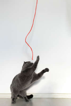 Scottish fold cat plays with his beloved red rope. Beautiful gray cat with bright orange eyes and a serious face on a white background. Reklamní fotografie