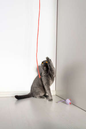 Scottish fold cat plays with his beloved red rope. Nearby lies a toy mouse lonely. Beautiful gray cat with bright orange eyes and a serious face on a white background. Reklamní fotografie