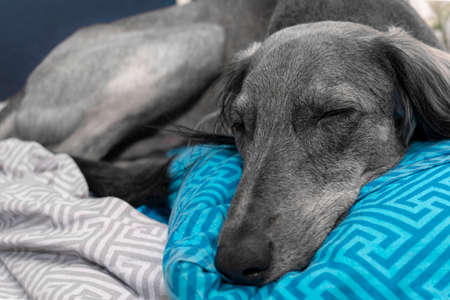 tired gray greyhound sleeping on a blue pillow and white sheet. close-up. A pacified expression of the muzzle.