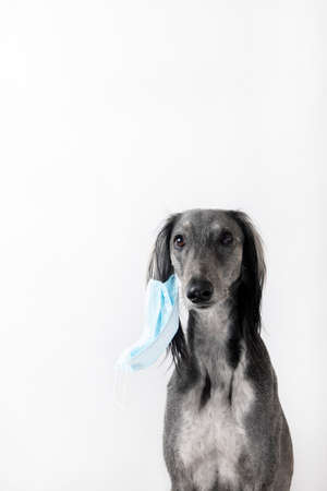 Gray greyhound dog take off a medicine mask on a white background. Epidemic concept