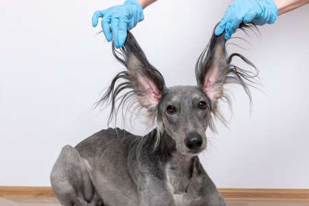 a grey greyhound saluki with long flapping flying ears on white background. isoladed. barbershop concept 版權商用圖片