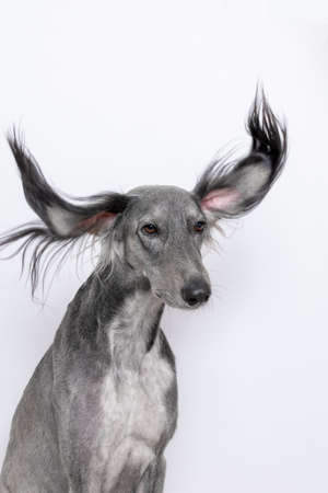 a grey greyhound saluki with long flapping flying ears on white background. isoladed. barbershop concept Stock Photo