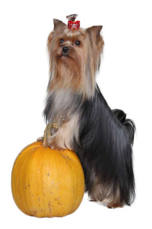 Yorkshire Terrier and pumpkin in the studio  photo