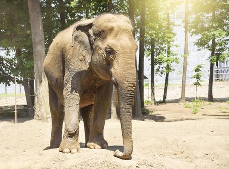 adult male: Adult Elefante indiano maschio nel giardino zoologico. Archivio Fotografico
