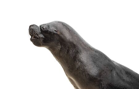 sea lion: Sea Lion isolated on a white background