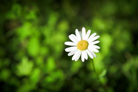 chamomile flower: Chamomile flower over defocused green grass background.