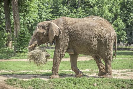 hauling: African elephant at the plantation hauling hay.