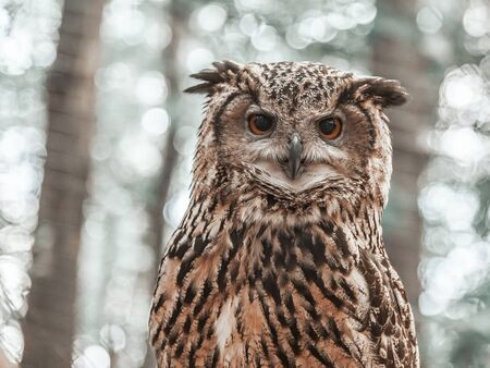 looking directly at camera: Owl looking directly at the camera on the background of trees.