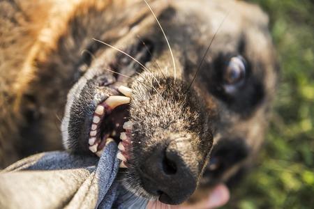 犬犬ジャーマン ・ シェパードの人間の手を噛みます。
