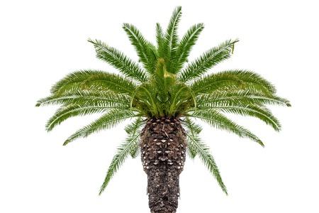 Coconut palm isolated on white background.