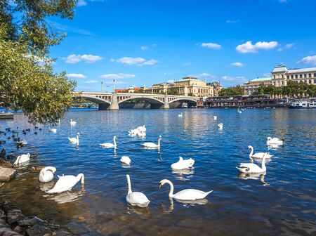 Swans on the Vltava River in the city of Prague, Czech Republic.