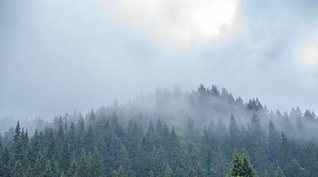 Carpathians. Spruce wild forest. A dense forest of fir trees in cloudy weather in the mountains.
