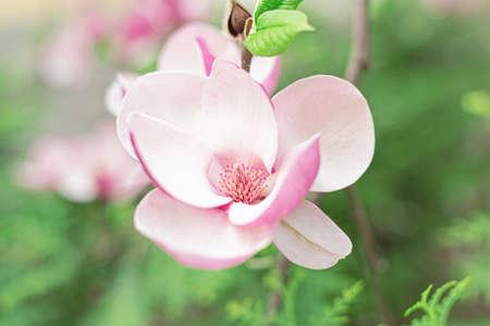 Blooming magnolia flower on the tree. Spring flowering magnolia