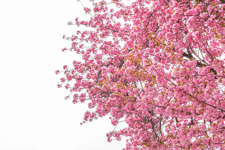 Blooming sakura on the tree. Japanese cherry blossom in spring
