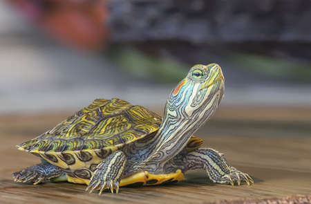 Close-up of a small red-eared turtle