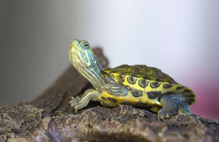 Close-up of a Little red-eared turtle on a rock.