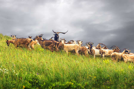Herd of goats grazing on the slopes of the mountains of the National Park Biogradska Gora, Montenegro