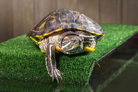 Red-eared slider turtle on the bridge with artificial.
