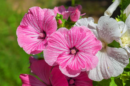 Close up of pink and white delicate lavatera.