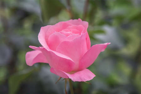 Pink rose in the garden. Banque d'images
