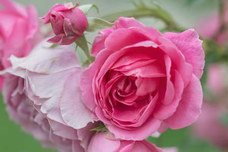 Pink roses in the garden. Banque d'images