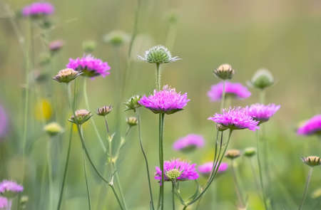 Knautia arvensis flowers. Floral background. 스톡 콘텐츠