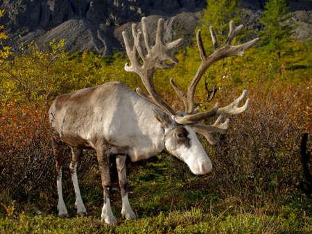Majestic deer on autumn background  photo
