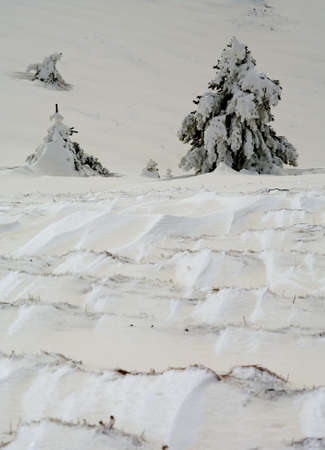 Pine trees covered by snow  photo